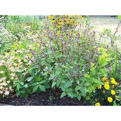 Toyensnow - Basil, Cinnamon Scented Basil, herb (675 Seeds) : Garden & Outdoor