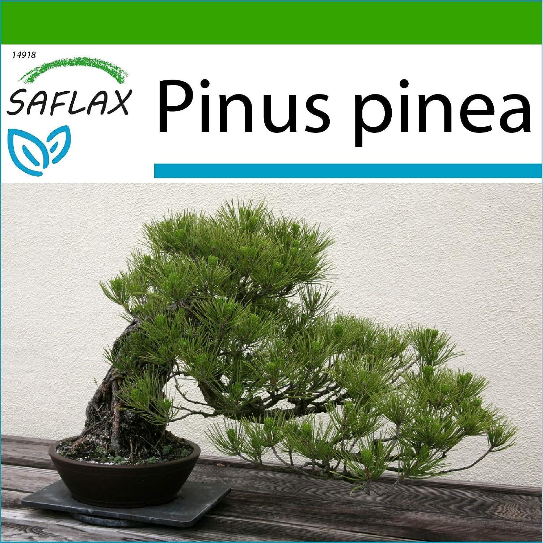 SAFLAX - Pinos piñoneros - 6 semillas - Con sustrato estéril para cultivo - Pinus pinea