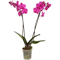 """Color Orchids Live Blooming Double Stem Phalaenopsis Plant in Grow Pot, 20""""-24"""", Purple"""