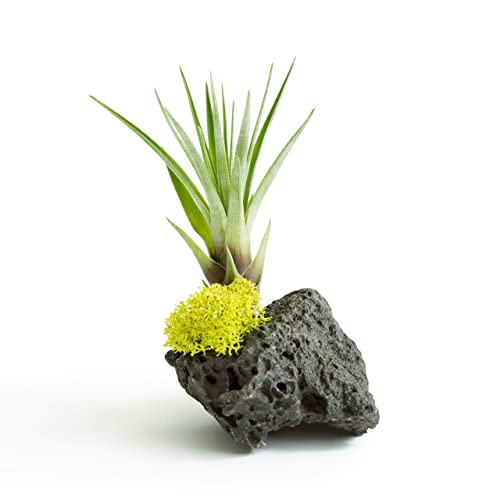 Lava Rock Air Plant Display Tillandsia Tricolor Airplant Small Gift Birthday Gifts Desk Accessory Indoor Unique House