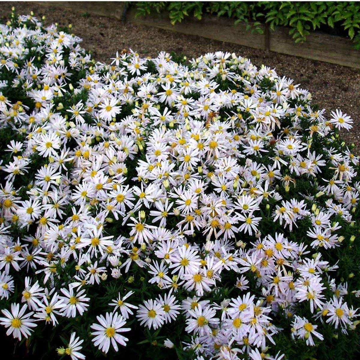 Aster dumosus Kristina - Michaelmas Daisy - 3 Plants in 9cm Pots IR Plant and Garden Centre
