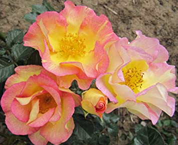 Strong Fragrance Unusual Pink and Yellow Blended Blooms SCENTED GARDEN 5.5lt Potted Shrub Garden Rose