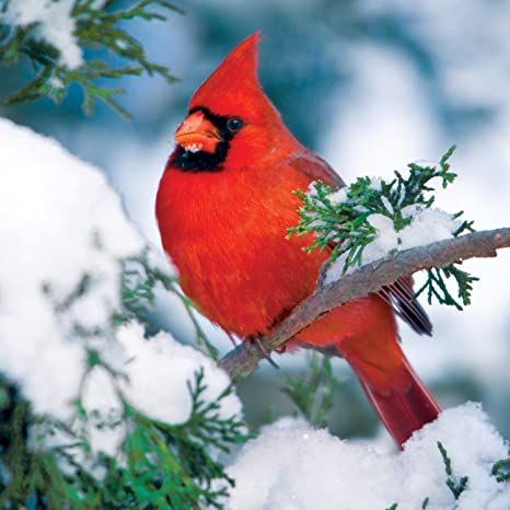 8ce3962a Buffalo Games Audubon Birds, Winter Cardinal - 500pc Jigsaw Puzzle