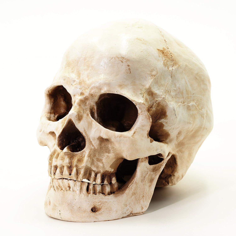 S24.5234 Cranio umano, teschio, 2 pezzi, grandezza naturale Skelett24 E5234