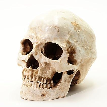 S24.5234 Cráneo humano, calavera, 2 piezas, de tamaño natural ...