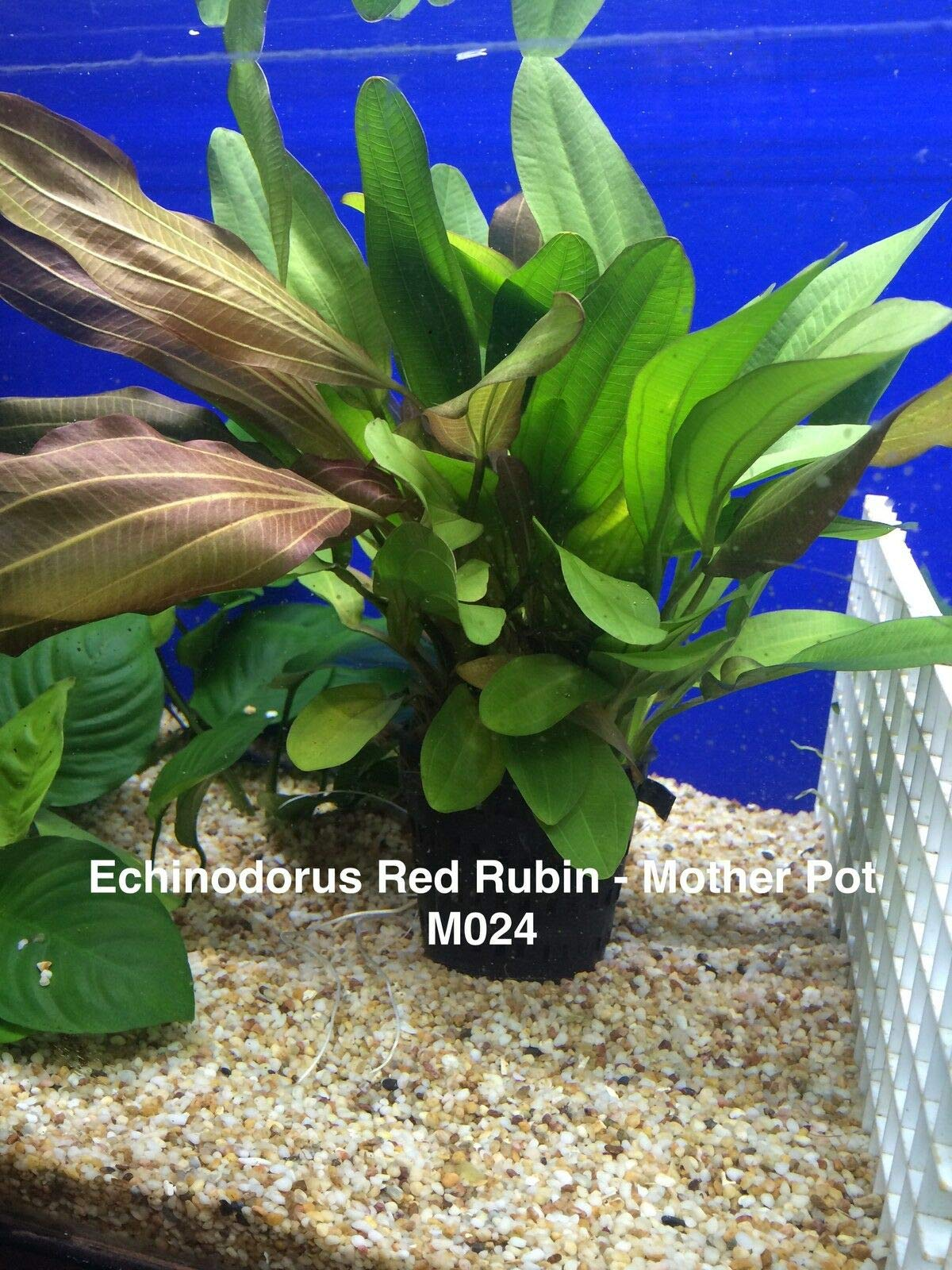 Echinodorus red Rubin Mother Pot Live Aquatic Fresh Water Plant M024 jKE -127