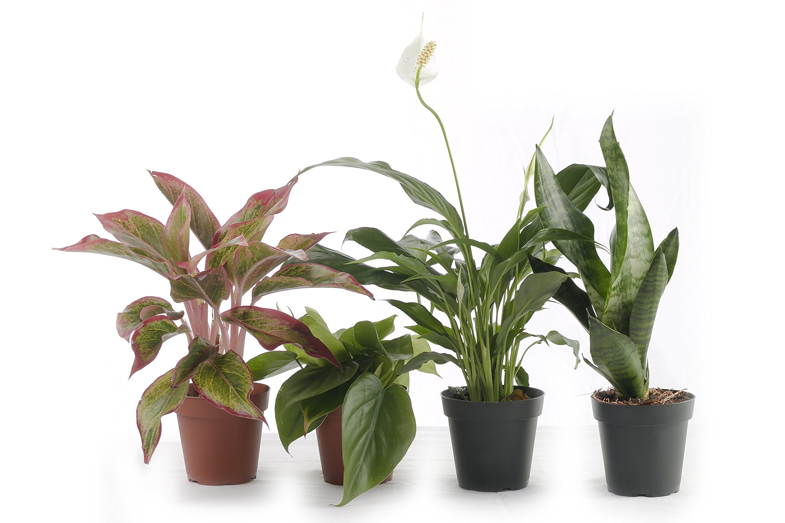 Set of 4 Indoor Plants - Live Potted Plants for Your Home or Office - Includes Red Aglaonema, Snake Plant, Philodendron, and Peace Lily - Great for Interior Decorating and Cleaning the Air by BDWS (Image #1)