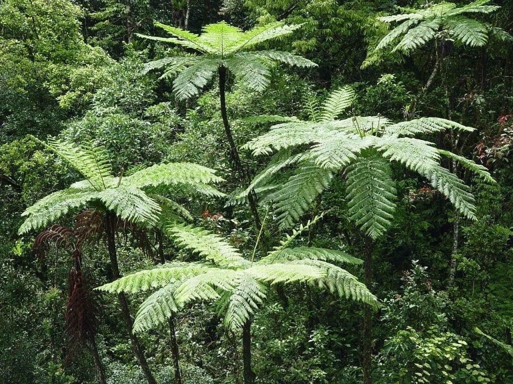Portal Cool Lacy helecho de árbol (Cyathea Cooperi) - 25+ fresca de esporas (semillas) - Hardy Rápido Crecimiento!