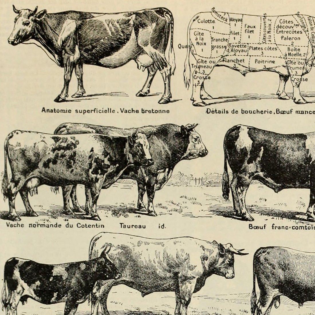 Meishe Art Retro Vintage Rind Kuh Rassen Rindfleisch Educational ...