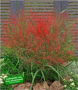 BALDUR Garten Rotes Liebesgras Purpur 3 Pflanzen Eragrostis Spectabilis Ziergraser Winterhart