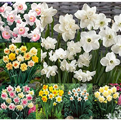 50 Daffodil Bulbs Mix Colors Single Doubles Flower Yellow White Pink Spring Fall : Garden & Outdoor