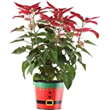 Costa Farms Live Red Christmas Poinsettia, 15-Inches Tall, Ships in 7-Inch Red Elf Decor Planter, Fresh From Our Farm, Great as Holiday Gift or Christmas Decoration
