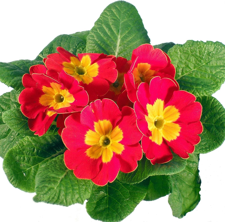 Gro/ßartige Fr/ühlingspflanzen Kissenprimel rot vielseitig einsetzbar