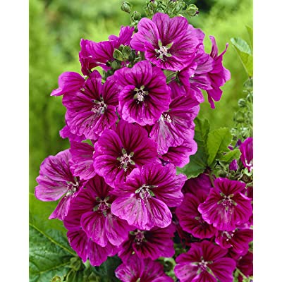 "MYSTIC MERLIN-Blue/Purple ""Mallow Hollyhock"" 25+Perennial Seeds: Toys & Games"