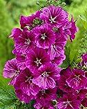 "MYSTIC MERLIN-Blue/Purple ""Mallow Hollyhock""  25+Perennial Seeds"