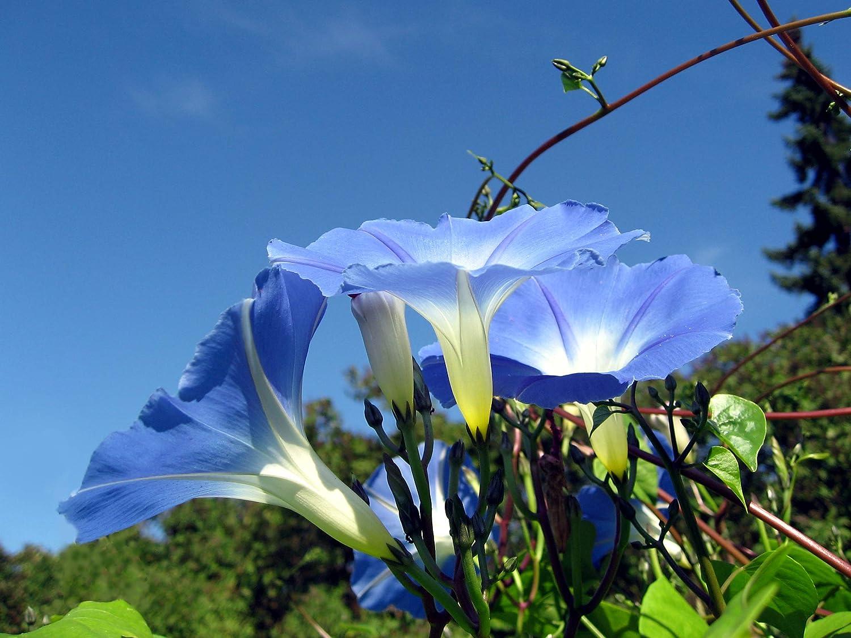 Asklepios-seeds/® 1 Kg Ipomoea Tricolor Heavenly Blue Morning Glory Seeds Bulk Almost 30.000 Seeds violacea
