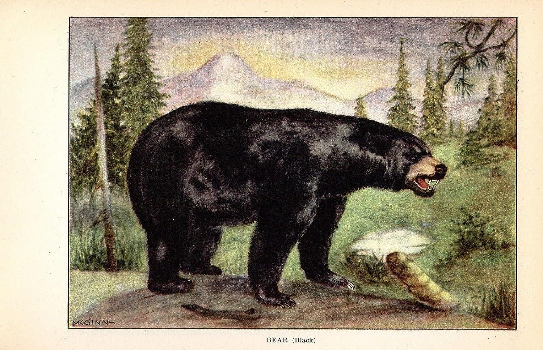 """1926 Vintage ANIMALS /""""BLACK BEAR/"""" GORGEOUS COLOR Art Print Lithograph"""