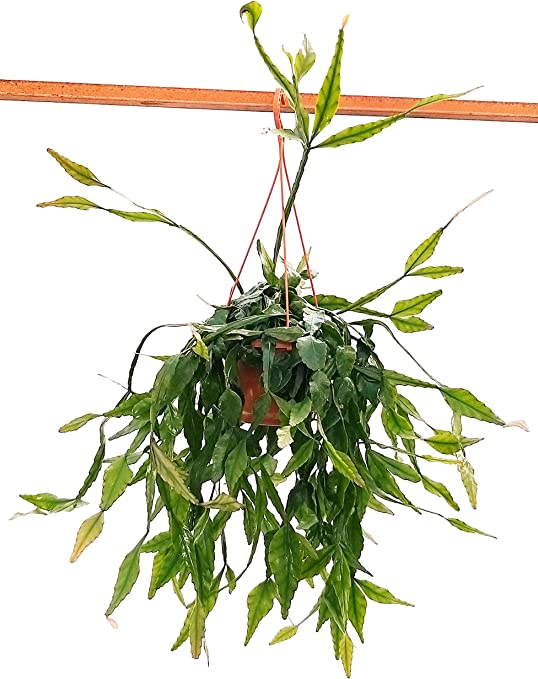 RHIPSALIS ELIPTICA XXL - Planta real: Amazon.es: Jardín