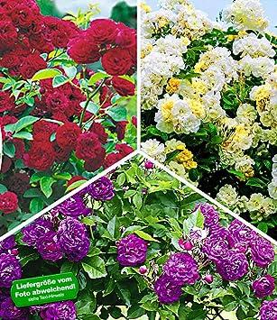 Baldur garten rosen  BALDUR-Garten Rambler-Rosen-Kollektion Bleu Magenta, Chevy Chase ...