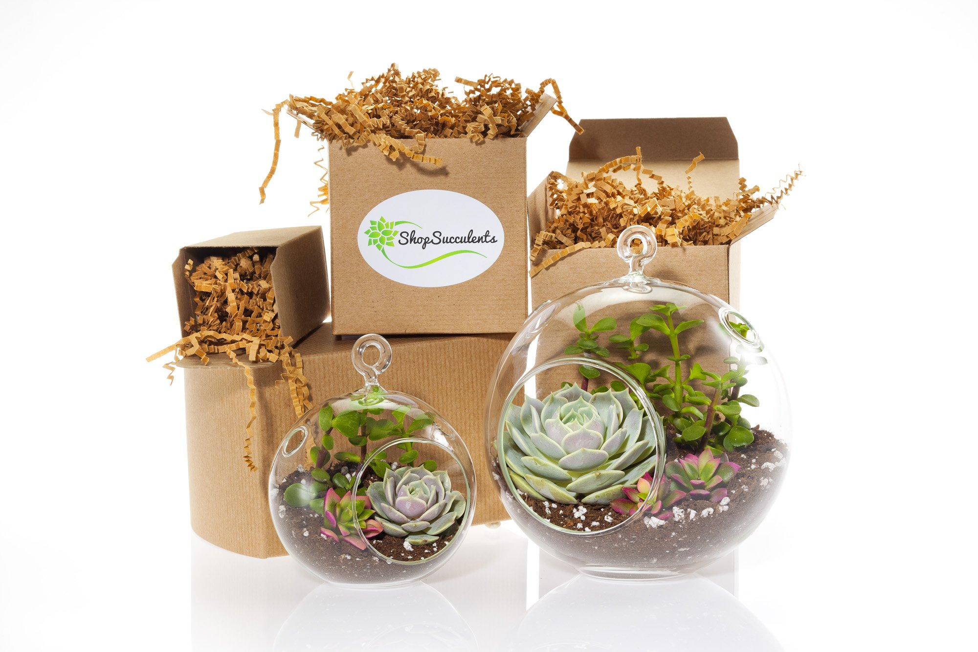Shop Succulents | Duo Globe Modern Terrium Collection, Hand Selected Variety of Live Succulents | Collection of 2