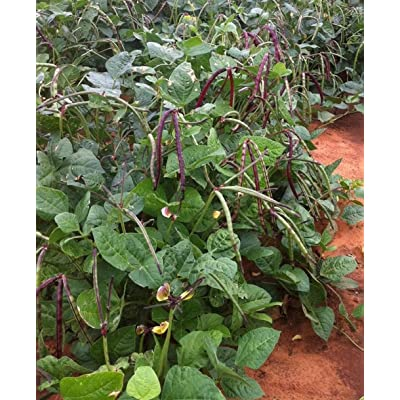 Big Boy Purple Hull Cowpea Seed - Southern Peas Field Pea Seeds : Garden & Outdoor