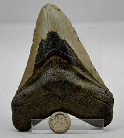 REAL Large Megalodon Shark Teeth from North Carolina 4 45