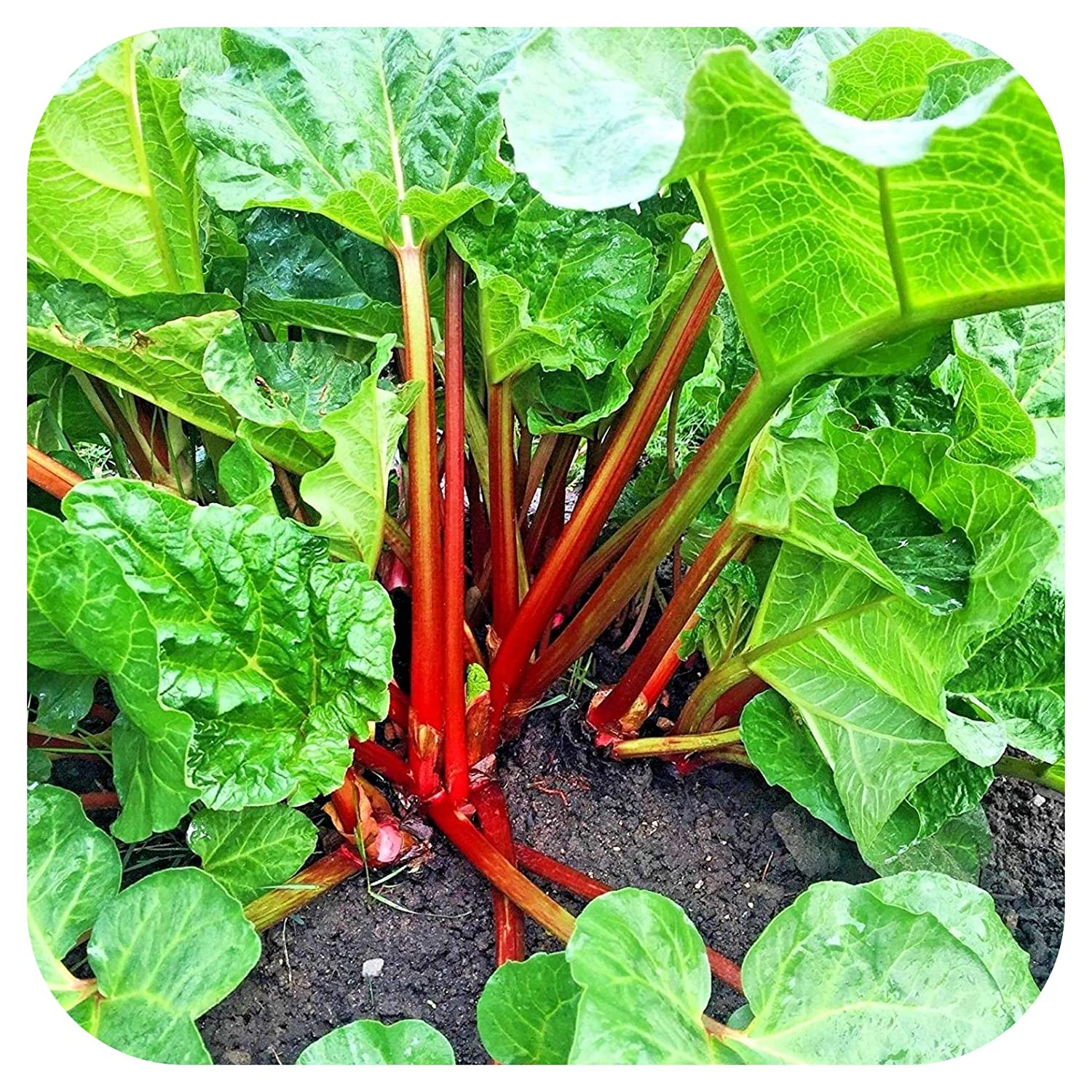 Rhubarb Crowns//Plants Red Champagne x 2 by Plug Plants Express Limited