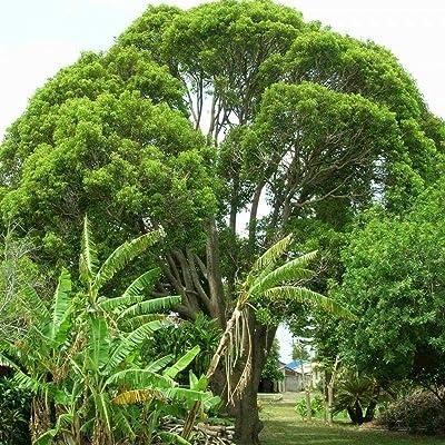 CAMPHORTREE Cinnamomum Camphora 5, 10, 15 Seeds : Garden & Outdoor
