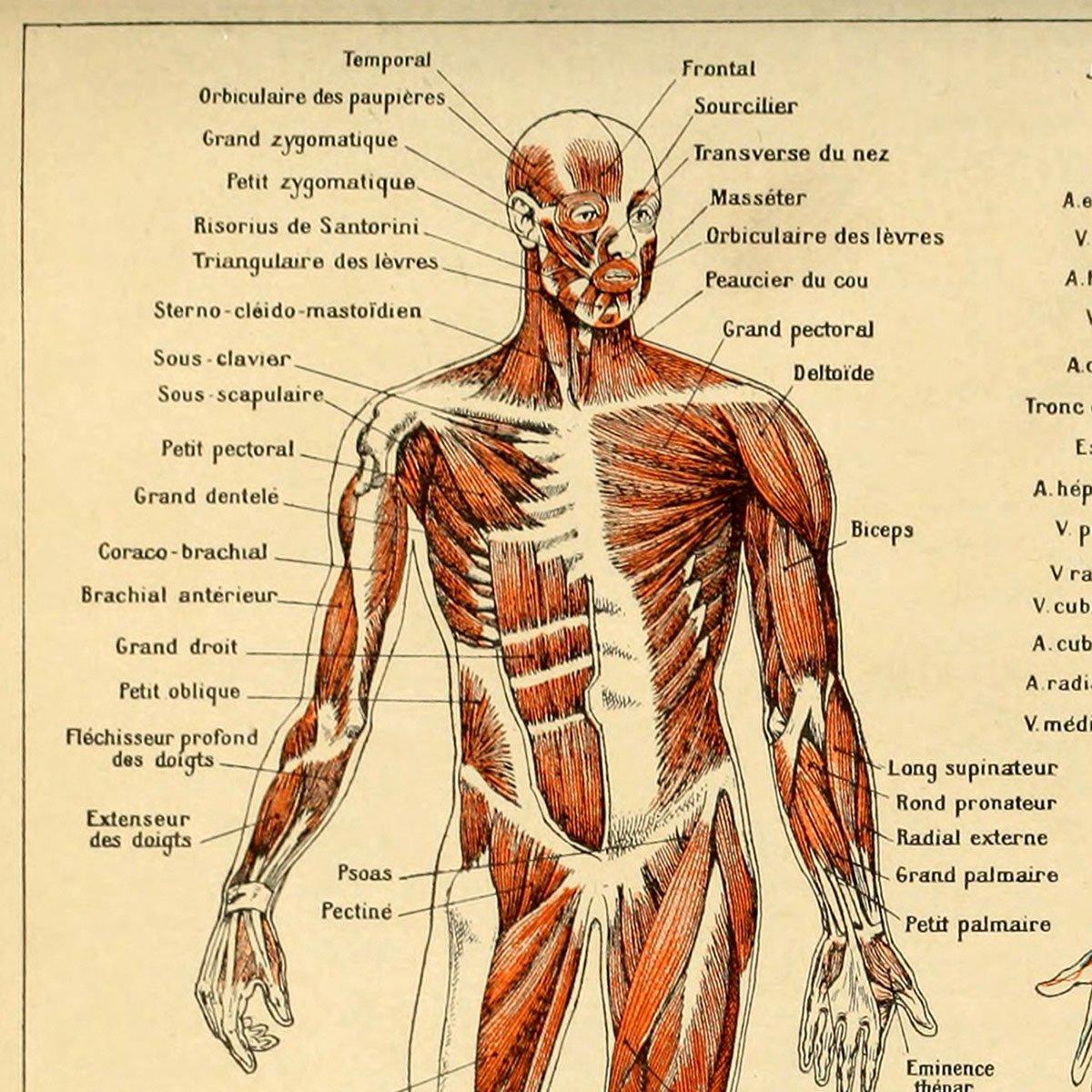 meishe Art Vintage Poster Print menschlichen Anatomie Referenz ...