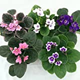 """Novelty African Violet - 4"""" Clay Pot/Better Growth - Best Blooming Plant/unique-from jmbamboo"""