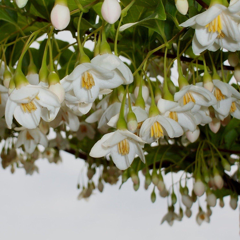 Amazon Com Snowbell Japanese Small Flowering Tree White