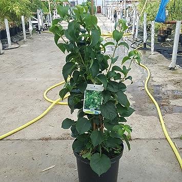 Climbing Hydrangea Plants. Hydrangea Petiolaris Large Plants in a 5 ...