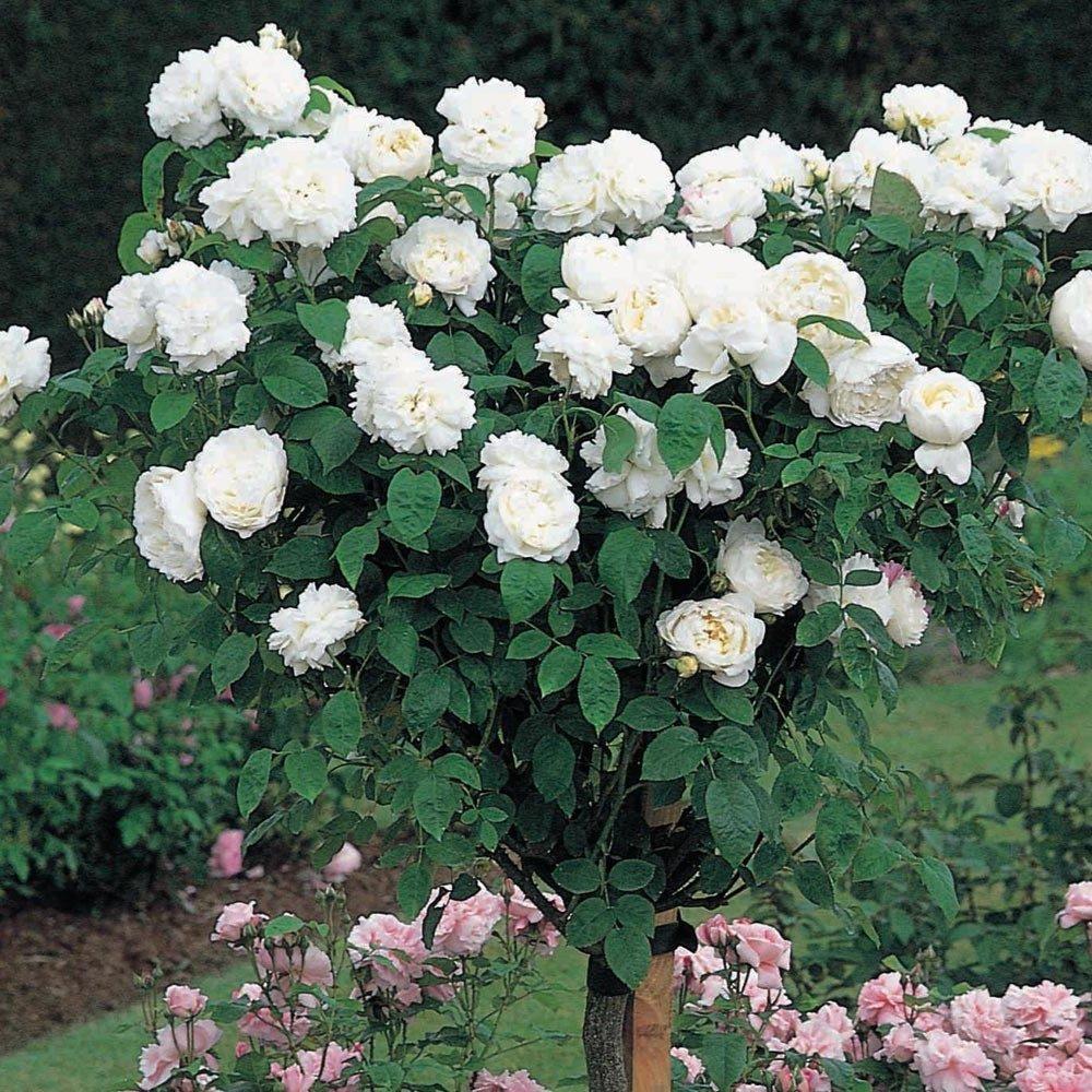 David Austin English Tree Rose: Winchester Cathedral by David Austin English Roses (Image #1)