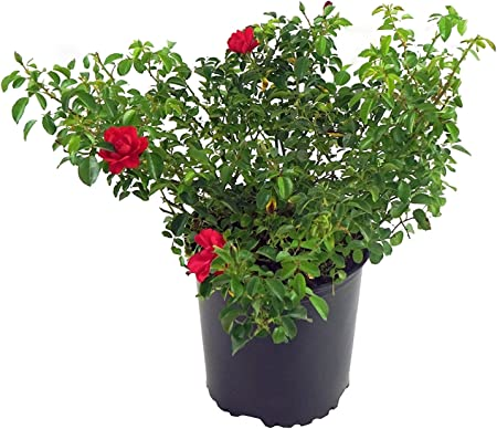 Amazon Com Flower Carpet Roses Rosa Scarlet Rose Rose Red