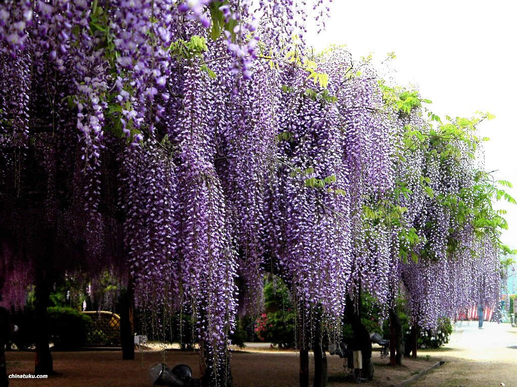 Blue Chinese Wisteria, Wisteria sinensis, Vine Seeds (Fast, Showy, Fragrant) 4 seeds