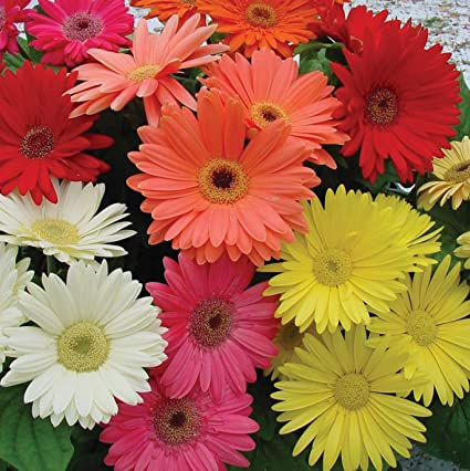 amazon com outsidepride gerbera daisy flower seed mix 100 seeds