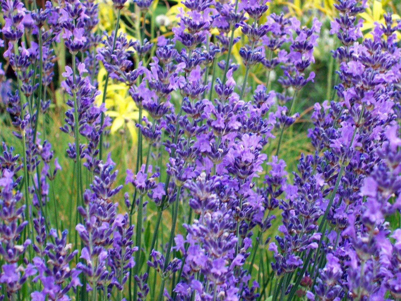 Amazon Hidcote Blue Lavender Herb 4 Perennial Plants 25