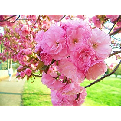 3 KWANZAN WEEPING CHERRY TREE PINK 8 INCH FLOWERING TREES SPRING BLOOMS BONSAI : Garden & Outdoor