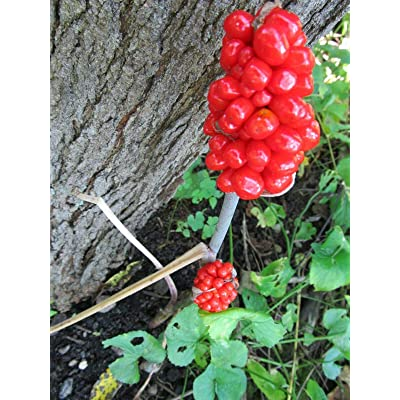 100 +, Jack in The Pulpit Seeds, Wisconsin Grown - Likes Shade or Part. : Garden & Outdoor