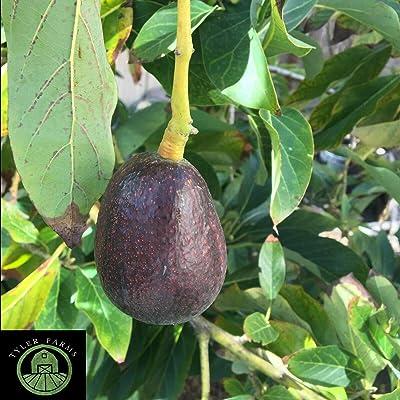AchmadAnam - Live HASS Avocado Tree | USA Grown | Naturally Grown Without pesticides, Non GMO : Garden & Outdoor