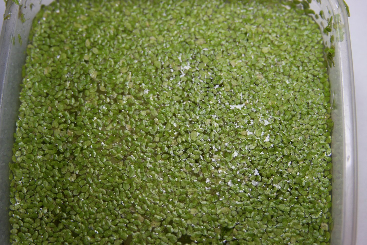 2 Cups of Organically Grown Live Duckweed by LEMNA MINOR (Image #1)