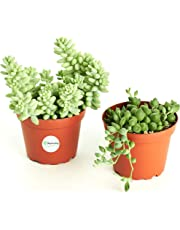 "Hanging Succulent Collection (Two Pack of 4"" Hanging Succulents) by Shop Succulents"