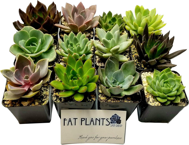 Fat Plants San Diego 2.5 Inch Wedding Rosette Succulent Plants (12)