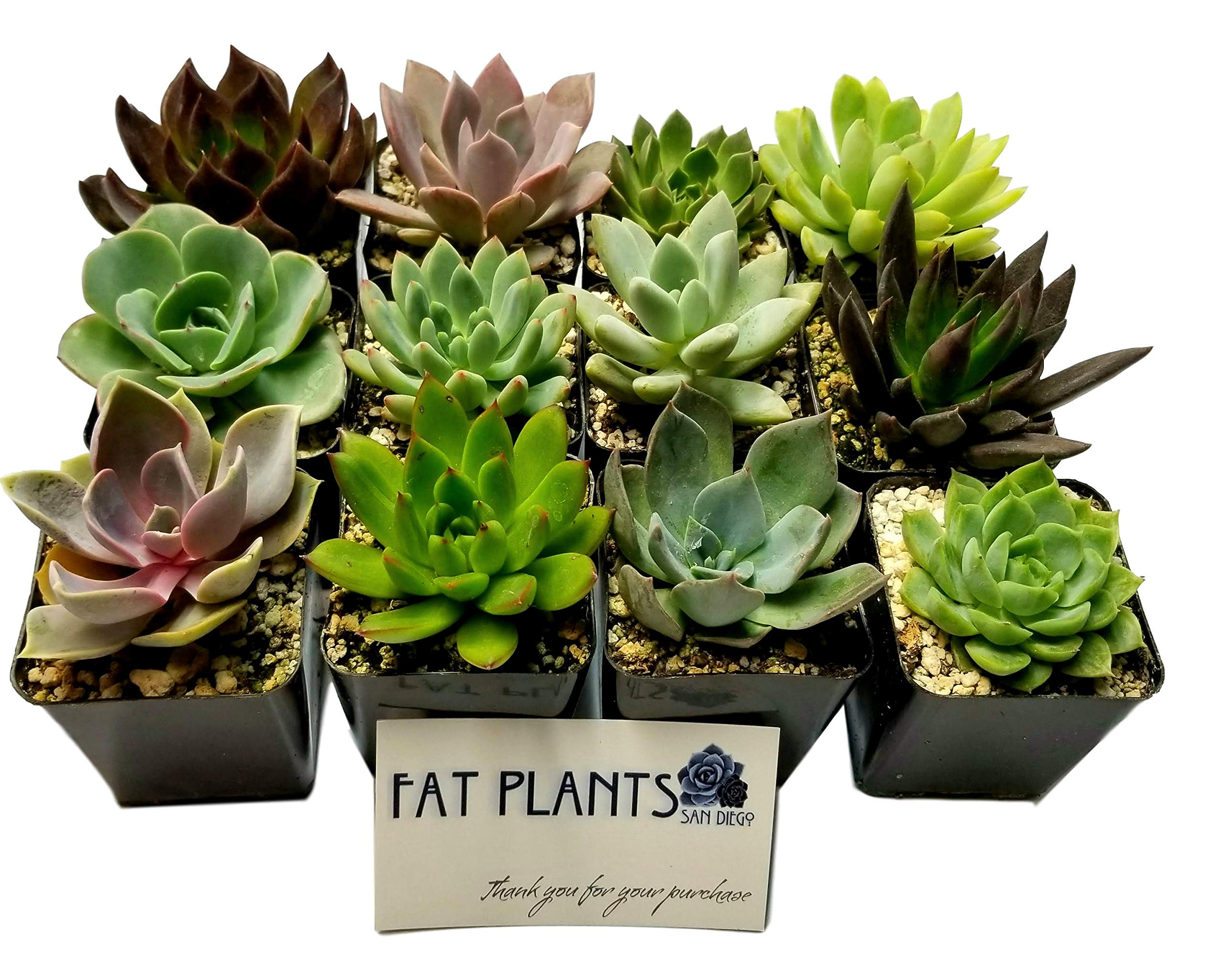 Fat Plants San Diego 2.5 Inch Wedding Rosette Succulent Plants (12) by Fat Plants San Diego