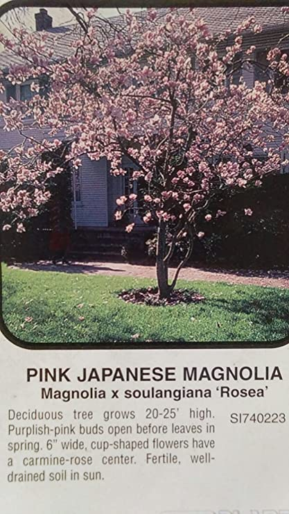 Amazon pink japanese magnolia tree large flowering trees plant pink japanese magnolia tree large flowering trees plant landscape shade flowers mightylinksfo