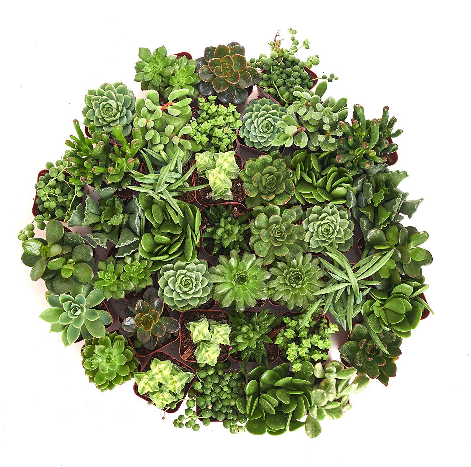 Shop Succulents Green Succulent (Collection of 36) by Shop Succulents (Image #3)