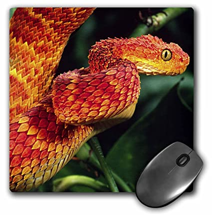 Amazon com : 3dRose LLC 8 x 8 x 0 25 African Bush Viper