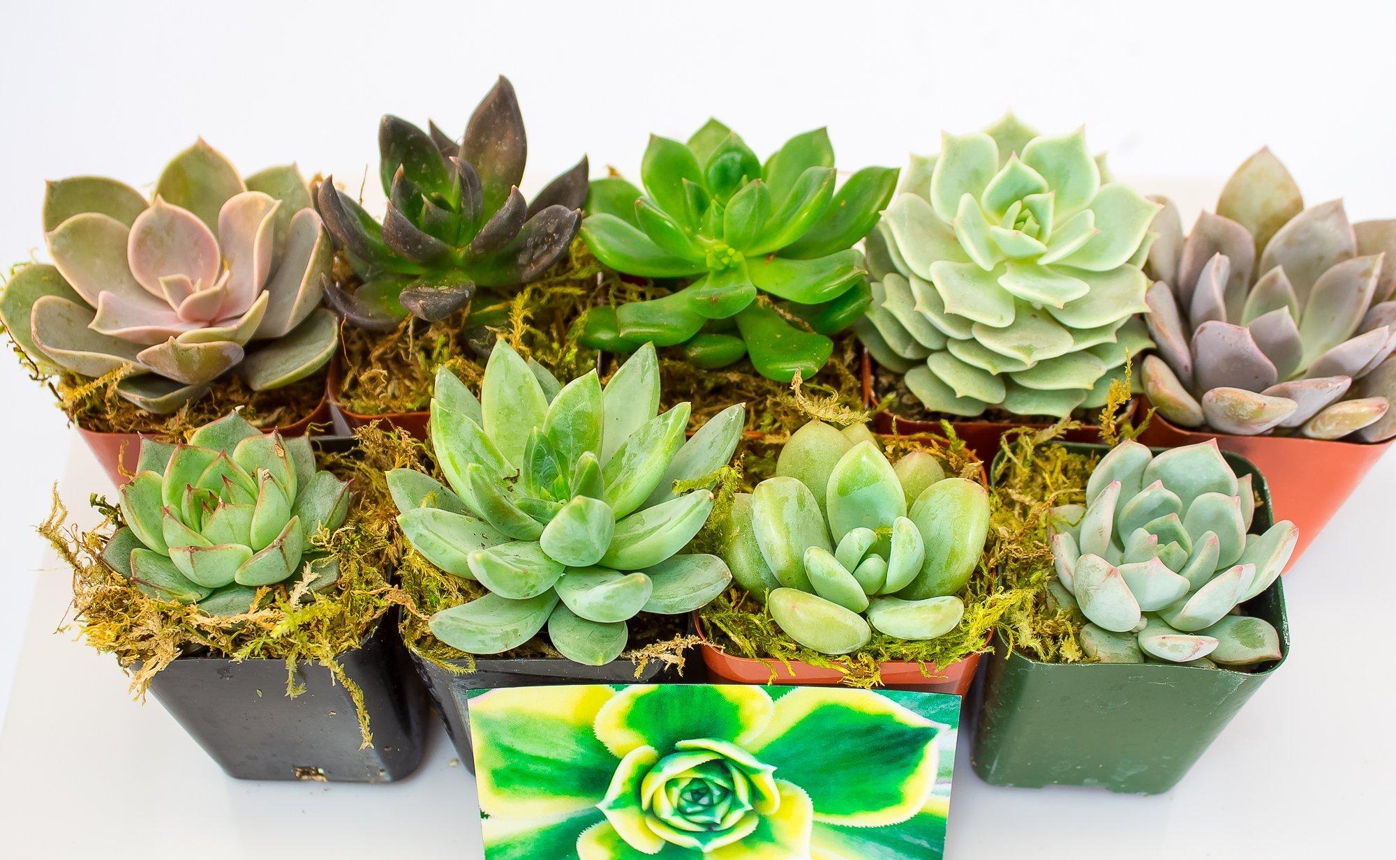 Fat Plants San Diego All Rosette Succulent Plants in 2 Inch Pots (9)