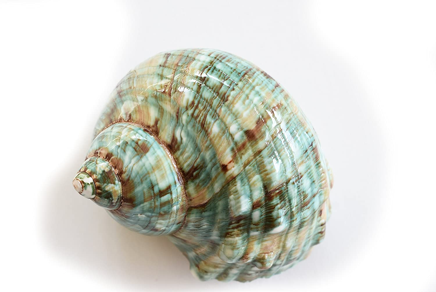 Large Polished Jade Turbo (3 - 3 1/2) 1 1/2 opening Beach Crafts Nautical Decor Large Hermit Crabs - Florida Shells and Gifts Florida Shells and Gifts Inc.