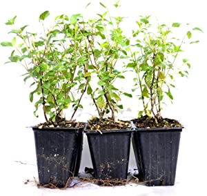 9GreenBox - Sage 'Hot Lips' Salvia - 6 Set Live Plant Ornament Decor for Home, Kitchen, Office, Table, Desk - Attracts Zen, Luck, Good Fortune - Non-GMO, Grown in The USA
